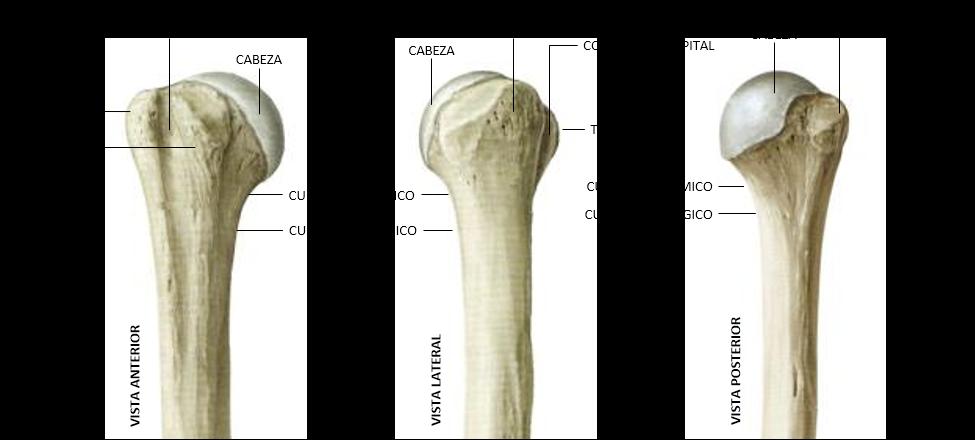 partes del húmero proximal