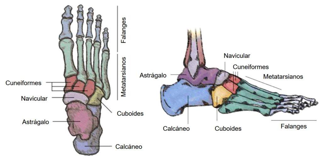 anatomía del hueso calcáneo