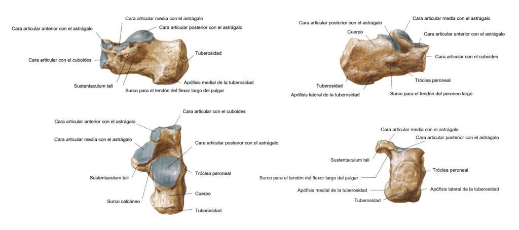 diferentes caras del hueso calcáneo
